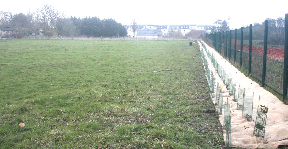Les 2 lignes de plantation à 50cm l'une de l'autre en quinconce. Il manque encore la protection sur une bonne partie des plants et la dernière bande de paillage.