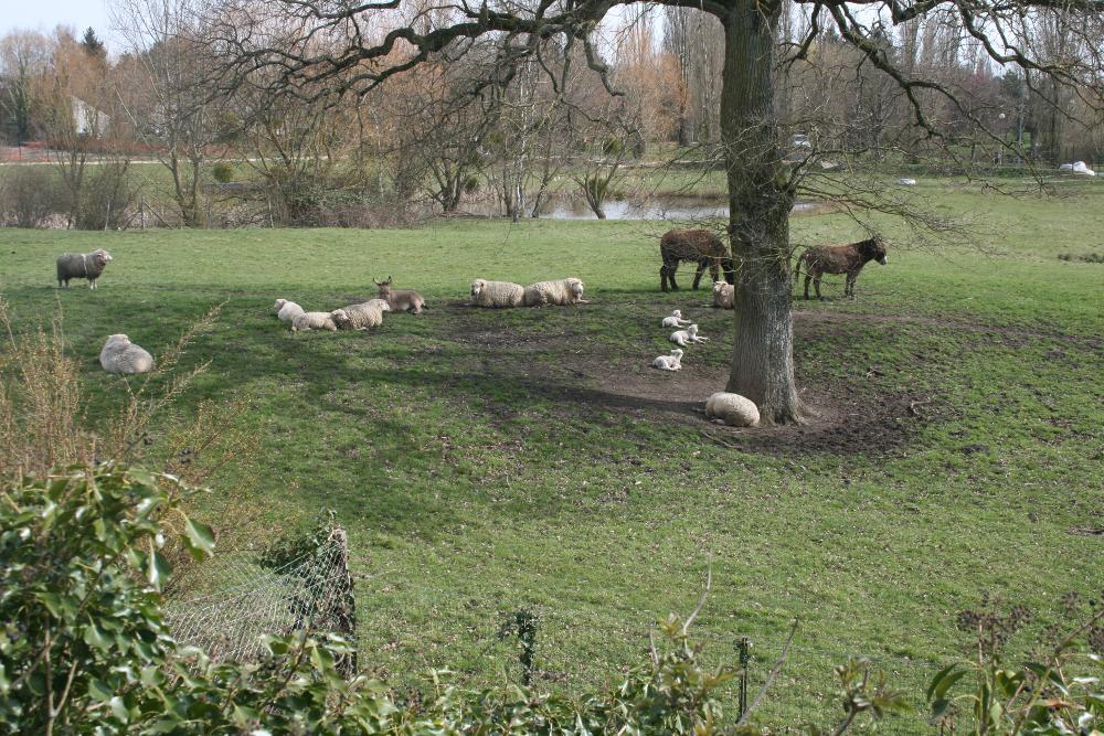 al-terre-ferme-2013-03-chantier_haie2-troupeau