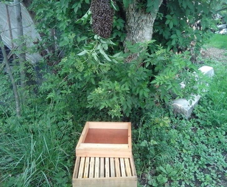 Là, c'est une ruche que j'ai sous la main (10 cadres au lieu de 6 pour une ruchette), les cadres sont bâtis pour la plupart. Je dispose donc bien la ruche sous l'essaim pour qu'en cas de mauvaise manipulation les abeilles tombent au maximum dans la ruche.