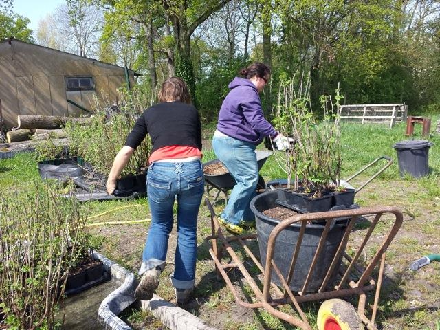 Préparation du matériel : compost, plants de groseilliers avec motte humide, pralin, brouette, bêche